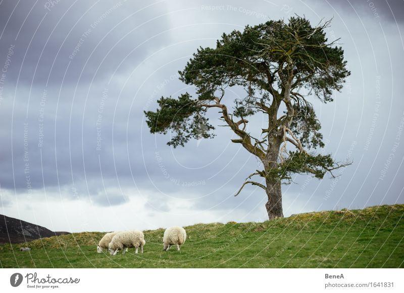 Sheep Essen Landwirtschaft Forstwirtschaft Umwelt Natur Landschaft Pflanze Tier Wolken Gewitterwolken schlechtes Wetter Baum Wiese Feld Hügel Schottland
