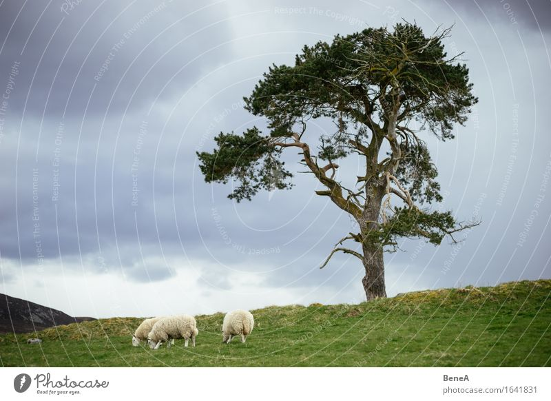 Sheep Natur Pflanze Baum Landschaft Einsamkeit Wolken Tier Ferne Umwelt Essen Wiese natürlich Feld stehen Tiergruppe Hügel