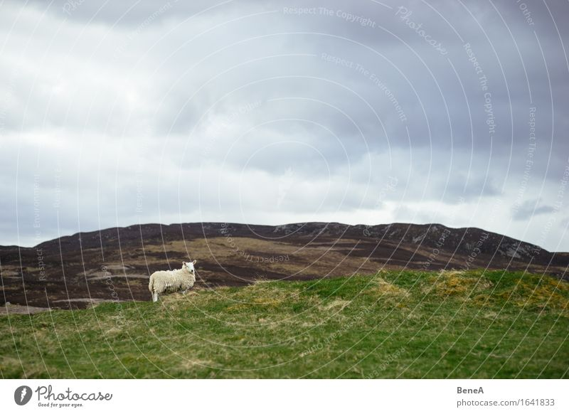 Sheep Himmel Natur Pflanze Landschaft Einsamkeit Wolken Tier Ferne Umwelt Wiese natürlich Gras Horizont wild Feld stehen