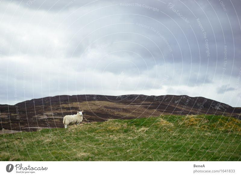 Sheep Landwirtschaft Forstwirtschaft Umwelt Natur Landschaft Pflanze Tier Himmel Wolken Gewitterwolken schlechtes Wetter Gras Feld Hügel Schottland Menschenleer