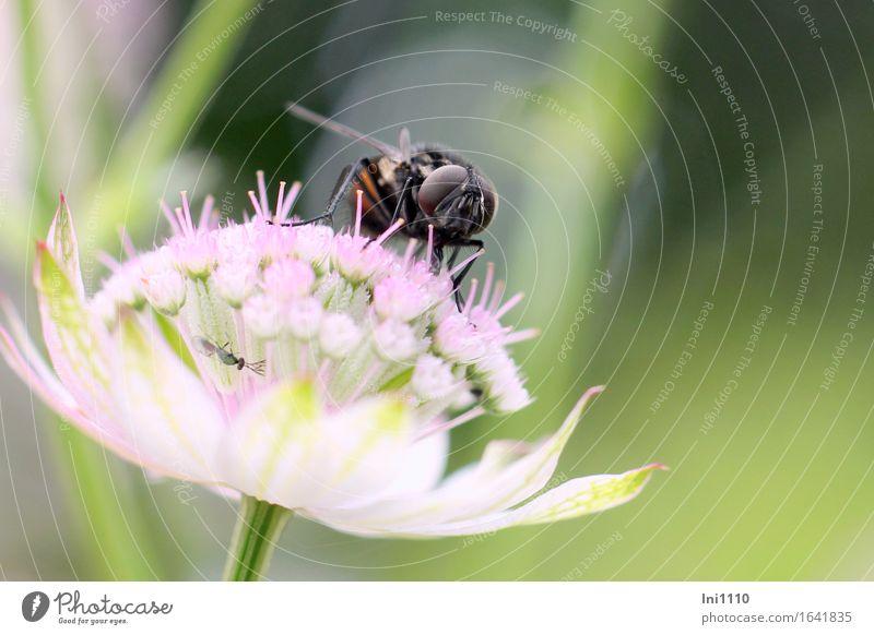 Fliege und Mücke Umwelt Natur Pflanze Tier Sommer Herbst Schönes Wetter Blume Garten Park Wildtier Tiergesicht Flügel Insekt 2 beobachten Fressen trinken