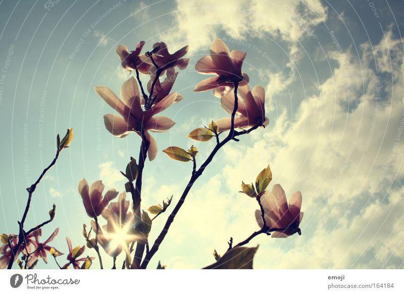gen Himmel Natur Blume blau Pflanze Sommer Frühling Magnoliengewächse Magnolienbaum