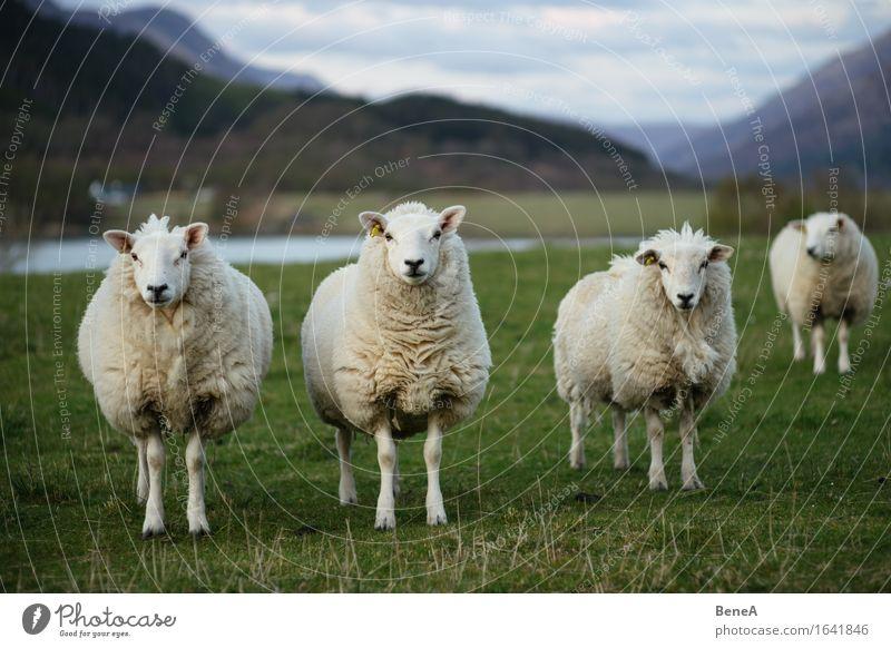 Sheep Landwirtschaft Forstwirtschaft Umwelt Natur Landschaft Pflanze Tier Gras Wiese Feld Schottland Menschenleer Nutztier Schaf Schafherde 3 Tiergruppe Herde