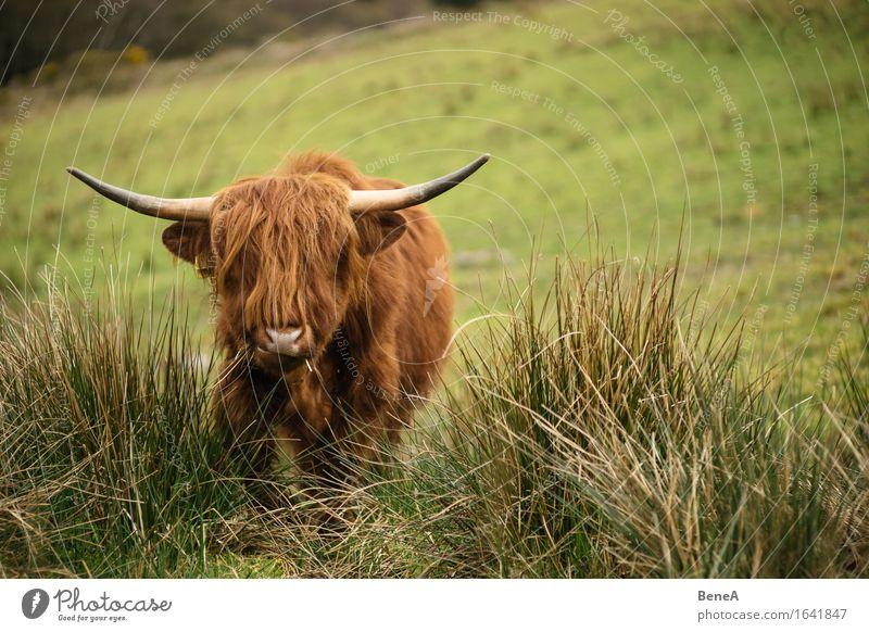 Moo Umwelt Natur Landschaft Pflanze Tier Gras Wiese Feld Hügel Schottland Menschenleer Haare & Frisuren Nutztier Kuh Schottisches Hochlandrind Fell Horn 1