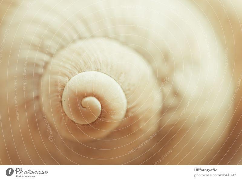 Schneckenhaus Natur Tier schleimig Wärme Schutz Geborgenheit Trägheit Weichtier Spirale beige erdig Schneckengang Farbfoto Außenaufnahme Textfreiraum rechts Tag