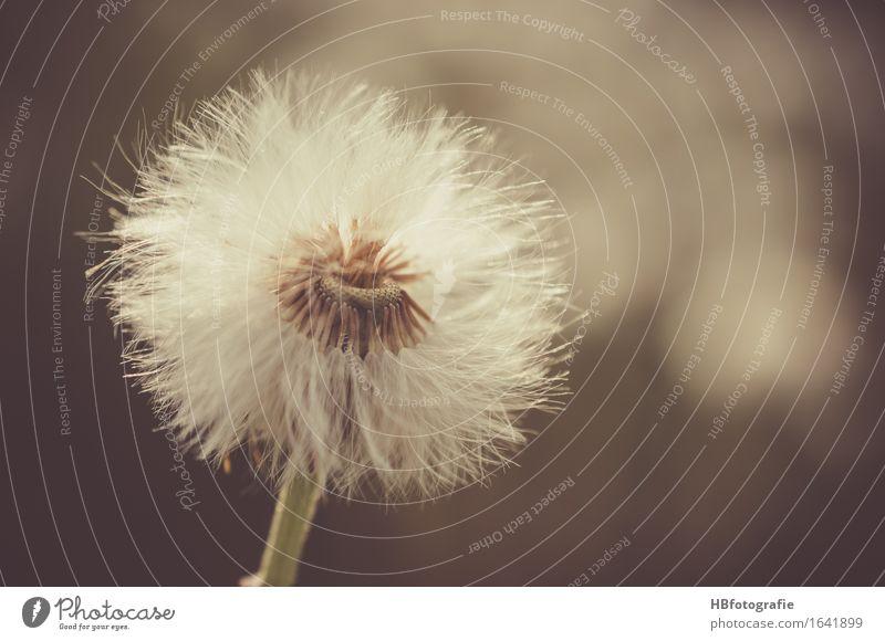 Pusteblume Natur Pflanze Blume Einsamkeit Traurigkeit Romantik Trauer Samen Löwenzahn verträumt