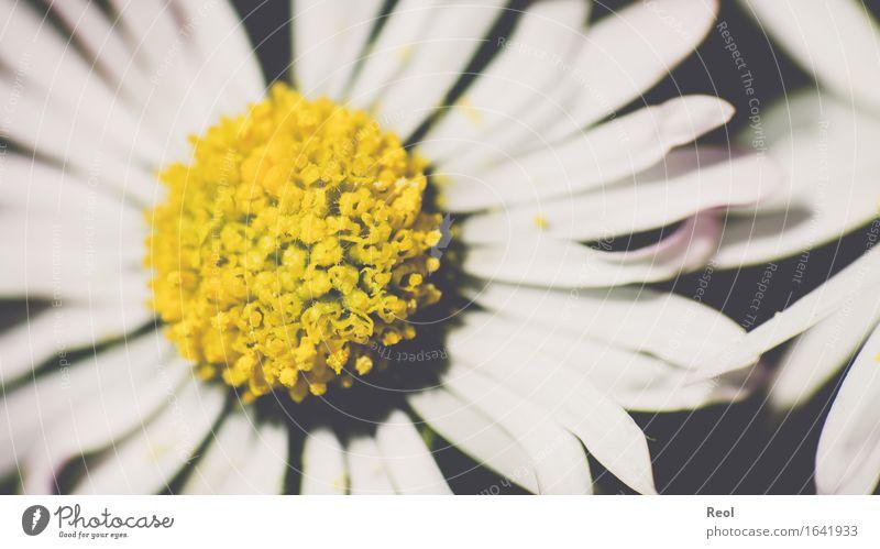 Gänseblümchen abstrakt Natur Pflanze Frühling Sommer Schönes Wetter Blume Blüte Grünpflanze Garten Park Wiese gelb schwarz weiß Frühlingsgefühle Retro-Farben