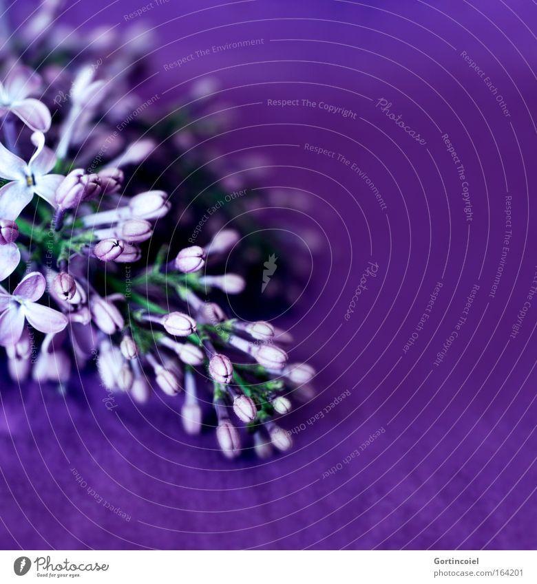 Purple Feste & Feiern Valentinstag Muttertag Pflanze Frühling Sommer Blume Blüte Fliederbusch schön violett Farbe Blütenknospen Dekoration & Verzierung Blühend