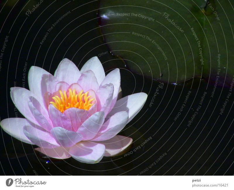 Seerosenpracht Wasser Blatt gelb Blüte rosa offen Teich Wasserpflanze Seerosenblatt