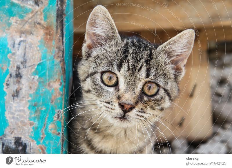 Brown eyed Tabby Kätzchen Tier Haustier Katze Tierjunges Holz Blick klein niedlich braun gelb gold türkis Katzenbaby offen anschauend gestreift breit
