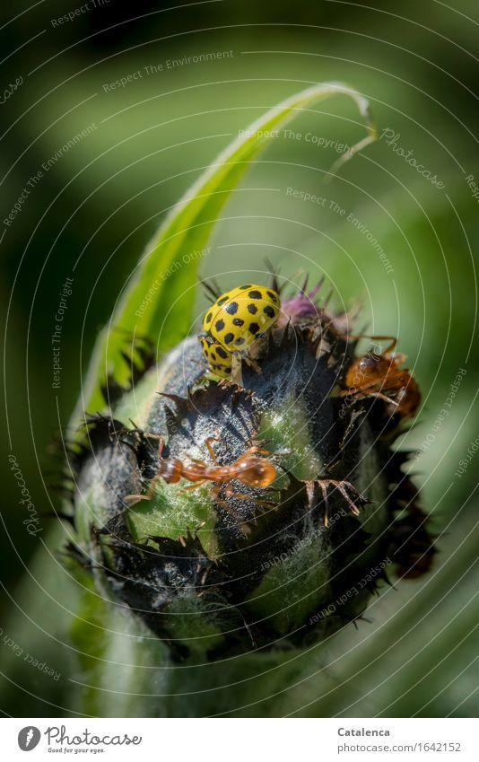 Nahrungskonkurrenz Pflanze Blütenknospen Kornblume Garten Tier Marienkäfer Ameise 3 Fressen Kommunizieren krabbeln braun gelb grün schwarz Toleranz