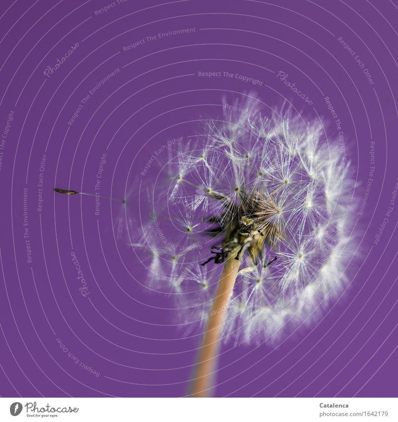 Pusteblume Nr 1243 Natur Landschaft Himmel Frühling Schönes Wetter Pflanze Blüte Löwenzahn Garten berühren Bewegung Blühend fliegen verblüht dehydrieren