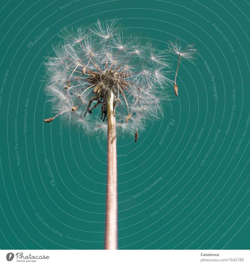 Pusteblume Nr 1241 Natur Pflanze Himmel Schönes Wetter Wind Blume Löwenzahn Garten Bewegung dehydrieren Wachstum schön türkis weiß Frühlingsgefühle bescheiden