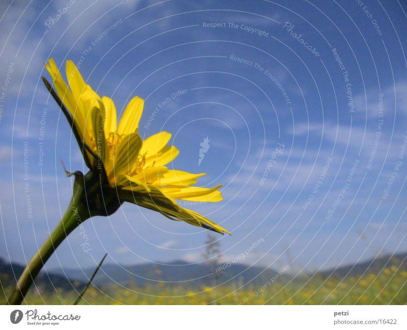 Wiesen-Bocksbart Himmel Blume Wolken gelb Blüte Berge u. Gebirge Landschaft Hintergrundbild Stengel Alm Blütenblatt
