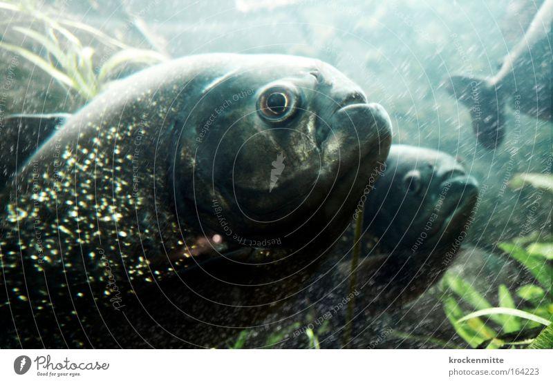 Little fish. big fish. swimming in the water. Farbfoto Unterwasseraufnahme Bewegungsunschärfe Tierporträt Wasser Fisch Schuppen Aquarium 3 Tiergruppe kalt Blase
