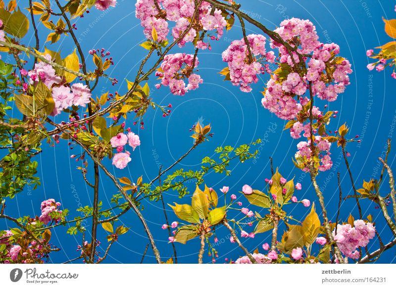 Mädchenfoto Himmel Pflanze Blüte Frühling frisch Wachstum Romantik Blühend Blauer Himmel Ranke himmelblau Gärtner Kirschblüten Frühlingsgefühle Gärtnerei Hormon