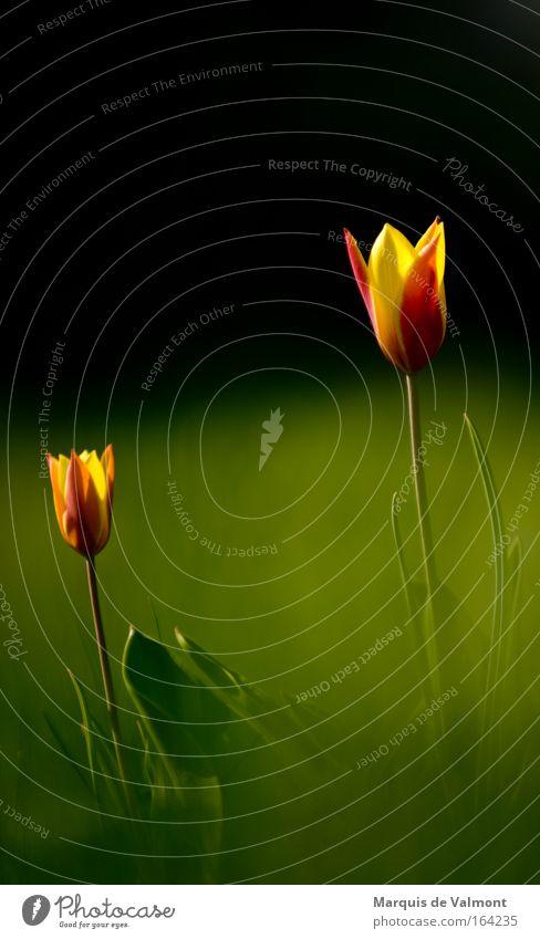 Oh, mon cher, tu as une belle tige! Natur schön Blume grün Pflanze rot ruhig schwarz gelb Wiese Blüte Gras Frühling Park Wärme Stimmung