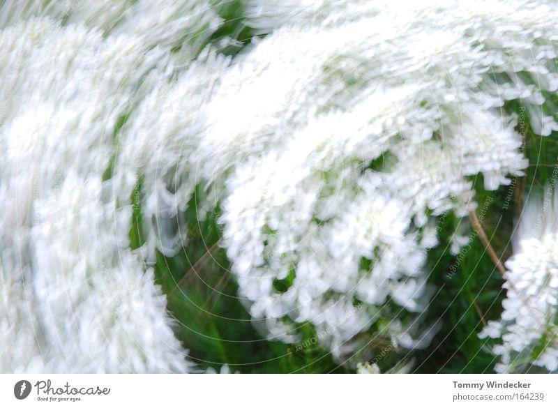 Schleudergang abstrakt Bewegungsunschärfe Natur Pflanze Frühling Sommer Schönes Wetter Sturm Blume Sträucher Blüte Grünpflanze Blühend weiß Frühlingsgefühle