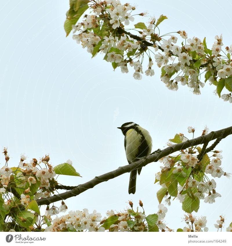 Meisenfrühling Umwelt Natur Pflanze Tier Himmel Wolkenloser Himmel Frühling Schönes Wetter Blüte Nutzpflanze Kirschbaum Kirschblüten Wildtier Vogel Kohlmeise