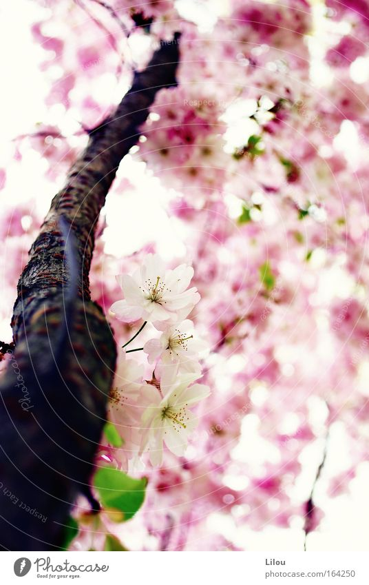 Der Frühling ist rosa. II Farbfoto Außenaufnahme Menschenleer Tag Unschärfe Schwache Tiefenschärfe Natur Pflanze Baum Blüte Grünpflanze Nutzpflanze Park Wiese
