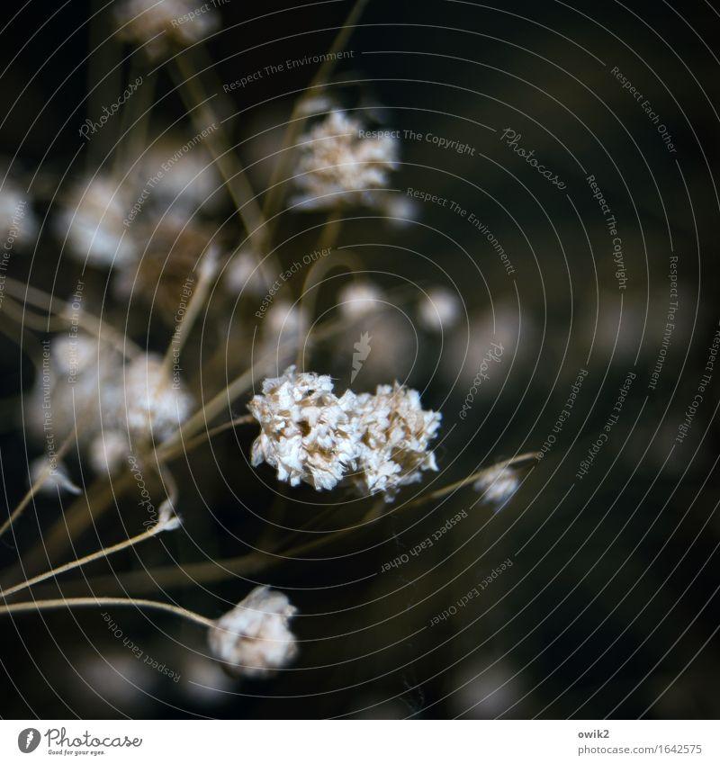 Ausgetrocknet Pflanze Blüte Gras Trockenpflanze Halm alt dehydrieren dünn zerbrechlich filigran Dekoration & Verzierung Farbfoto Gedeckte Farben Innenaufnahme