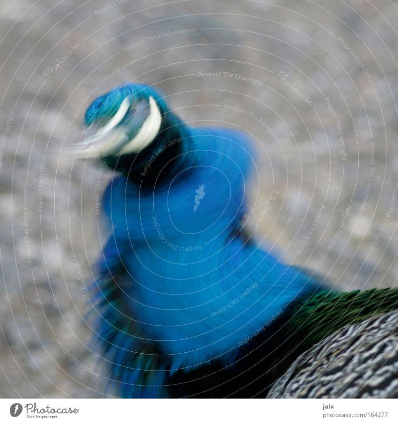 Shake It Baby Gedeckte Farben Außenaufnahme Menschenleer Tag Bewegungsunschärfe Tier Vogel Tiergesicht Flügel Zoo Pfau 1 schütteln Tanzen