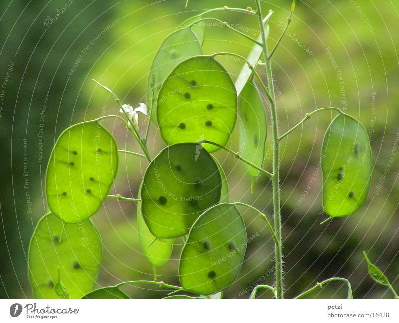 Grüne Silberlinge grün Pflanze Stengel Samen durchscheinend Mondviole zartes Grün