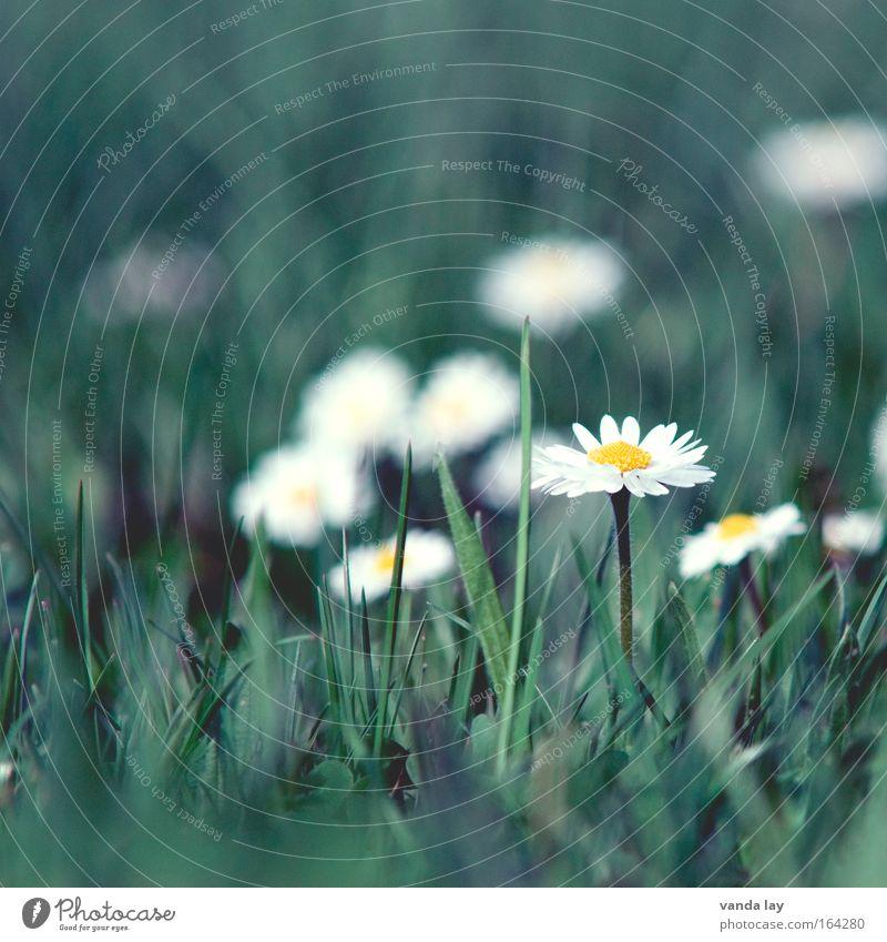 Wiesenschönheit Natur weiß Blume grün Pflanze Blüte Gras Frühling Umwelt ästhetisch Gänseblümchen Margerite Frühlingsgefühle