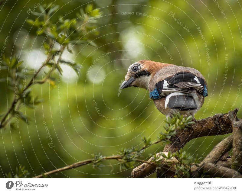 Eichelhäher Tier Wildtier Vogel Tiergesicht Flügel 1 beobachten Blick ästhetisch blau braun grün weiß Tierliebe Wachsamkeit Lebensfreude Neugier Farbfoto