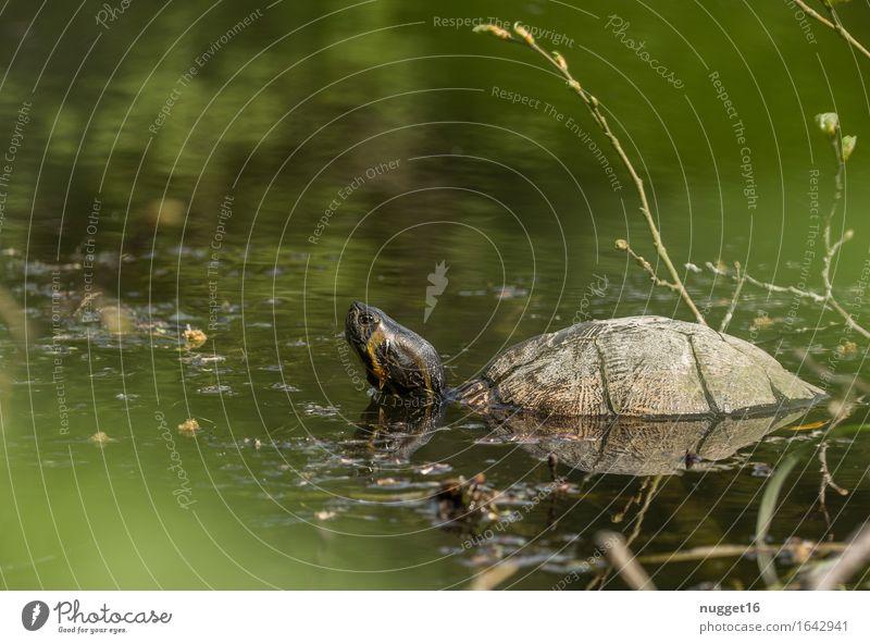Schildkröte Natur Landschaft Tier Schönes Wetter Seeufer Flussufer Wildtier Zoo Aquarium 1 beobachten Schwimmen & Baden außergewöhnlich braun gelb grün