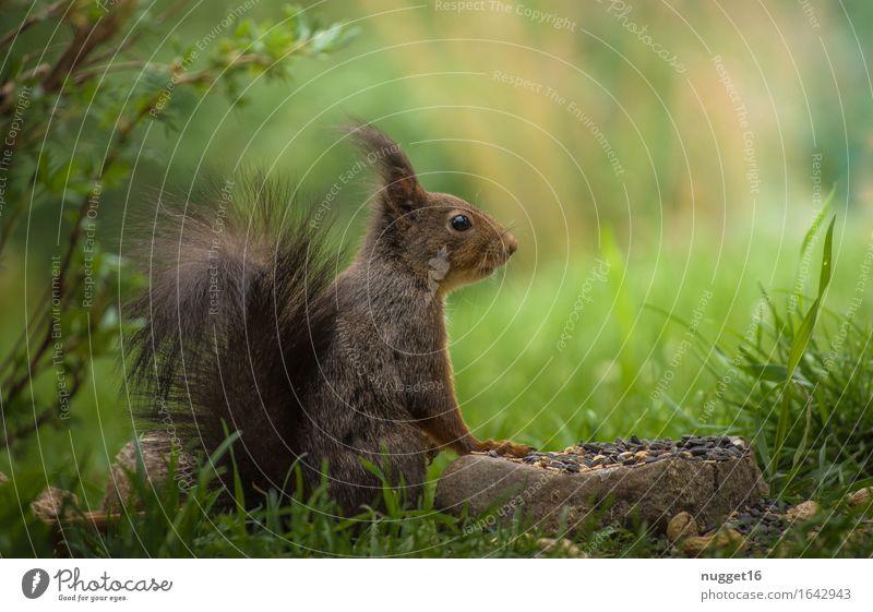 Eichhörnchen / Squirrel Natur Frühling Sommer Schönes Wetter Garten Tier Wildtier Tiergesicht Fell Pfote 1 Fressen füttern Freundlichkeit natürlich Neugier