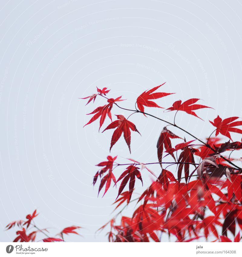 Japanese Maple Tree II Natur blau Pflanze rot Frühling Park Wolkenloser Himmel Ahornblatt Zweige u. Äste Blatt Ahornzweig