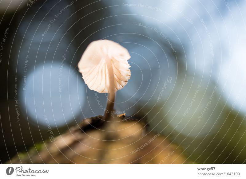 Solist II Natur Pflanze Herbst Wald klein Pilz Waldboden Gegenlicht Reflexion & Spiegelung Makroaufnahme einzeln Herbstbeginn bodennah Farbfoto Gedeckte Farben