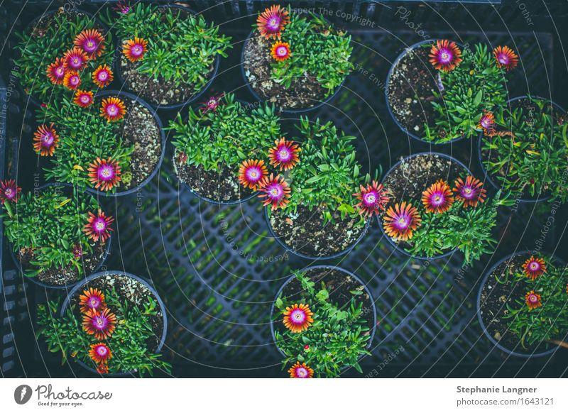 Blumenmarkt Pflanze Blüte Grünpflanze Blühend Blumentopf pflanzen wachsen Farbfoto Menschenleer