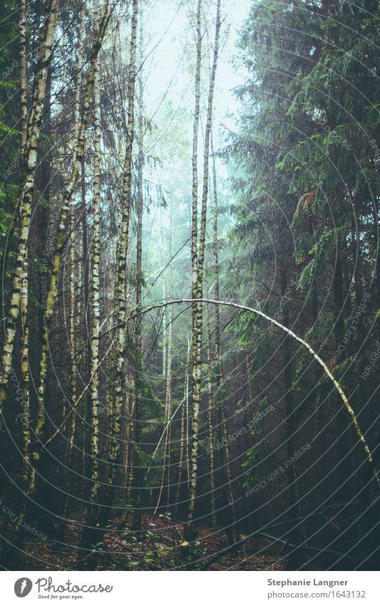 Gruselwald Natur Pflanze Herbst schlechtes Wetter Baum Moos Grünpflanze Wildpflanze Wald Urwald dunkel gruselig Schmerz Einsamkeit Erschöpfung Angst Entsetzen