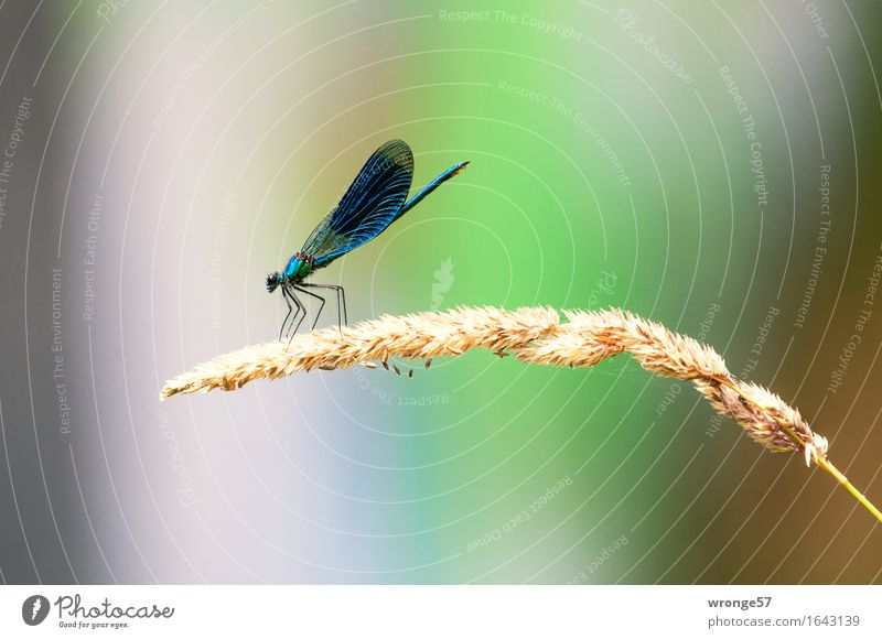 Biocopter II blau Pflanze grün Sommer Sonne Erholung Tier rosa Wildtier warten beobachten violett Insekt Flussufer Schilfrohr bizarr