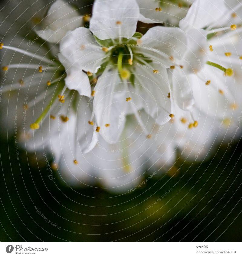 blümsche weiß Baum Blume Pflanze Blüte ästhetisch Sträucher zart