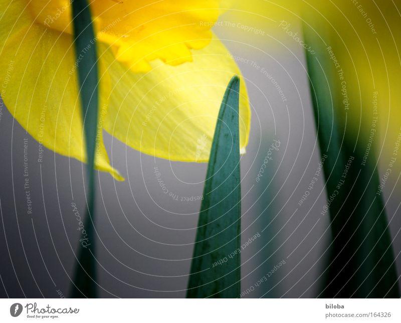 Frühlingserwachen Natur grün Pflanze Blume gelb Blüte Stil Park Stimmung Klima glänzend frisch zart Lebensfreude Leichtigkeit