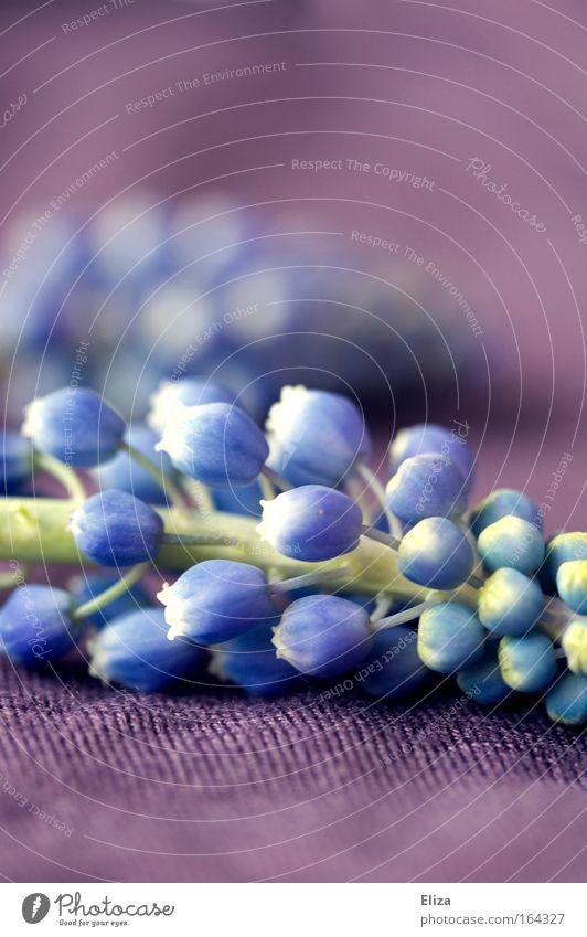 lilablassblau schön Blume Pflanze Frühling frisch ästhetisch außergewöhnlich Stoff Freundlichkeit exotisch Hyazinthe Traubenhyazinthe