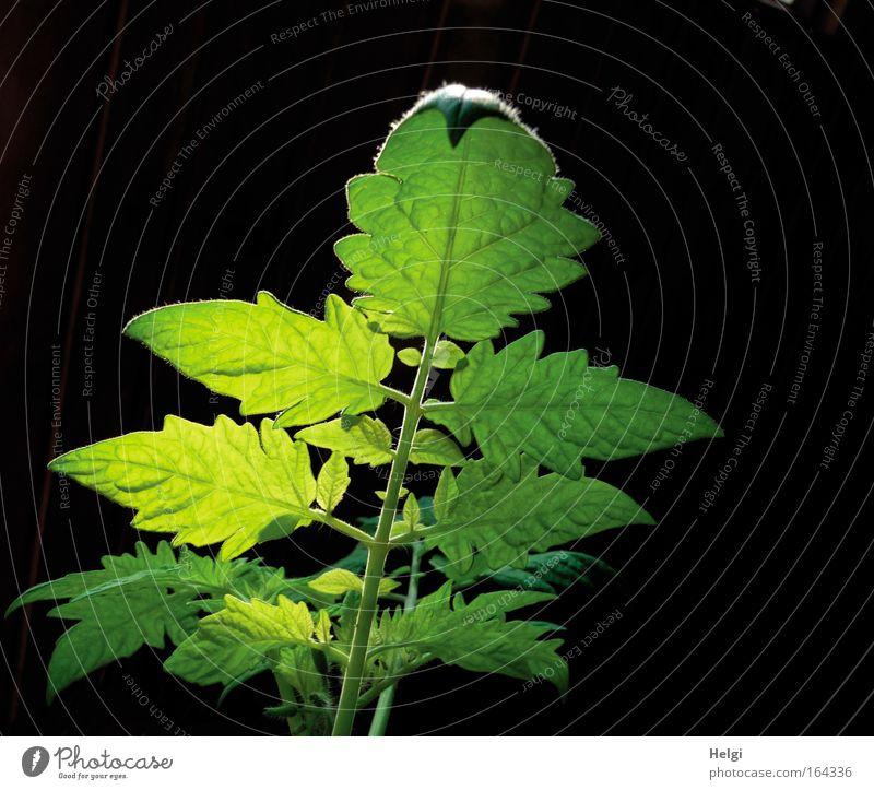 mit Beleuchtung... Natur schön grün Pflanze schwarz gelb Frühling Kraft Gesundheit klein elegant Beginn frisch ästhetisch Wachstum Vergänglichkeit