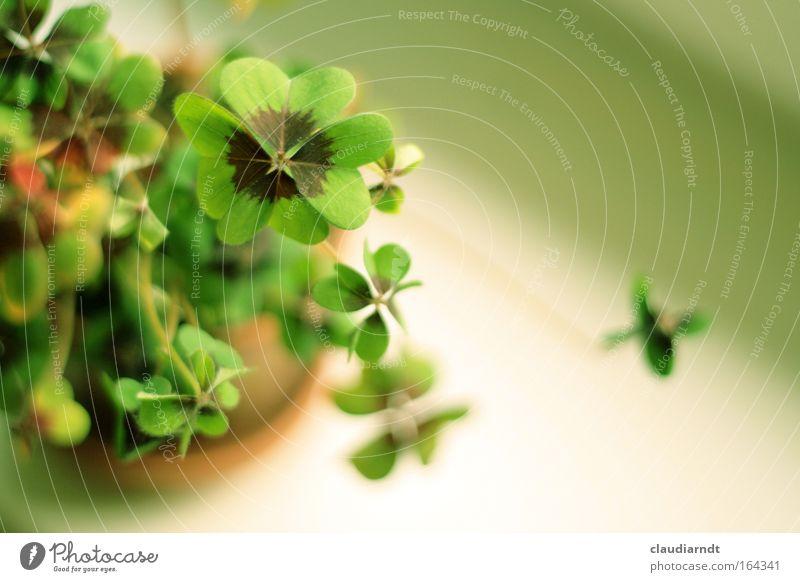 Grünes Glück grün Pflanze Glück frisch Zukunft Zeichen Wunsch positiv Grünpflanze Vogelperspektive Klee Kleeblatt Topfpflanze Blume Glücksklee vierblättrig
