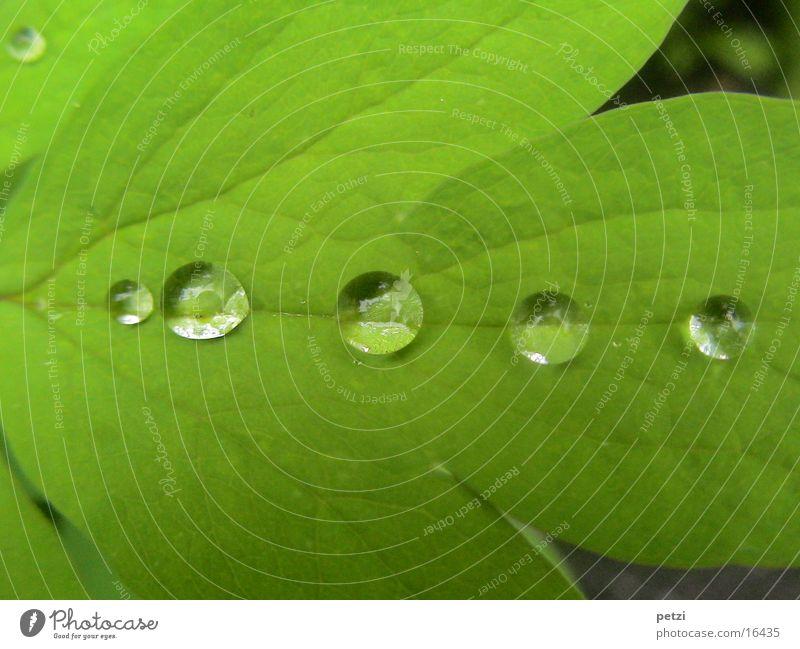 Tropfen in Reih und Glied Wassertropfen Regen Blatt grün Blattadern Wasserrinne 5 Tauperlen Farbfoto Außenaufnahme Textfreiraum oben Textfreiraum unten