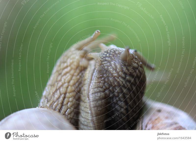 schleimige Umarmung Lebensmittel Ernährung Umwelt Natur Tier Nutztier Schnecke Weinbergschnecken 3 kalt lecker Fortpflanzung Zwitter Schleim Schleimer