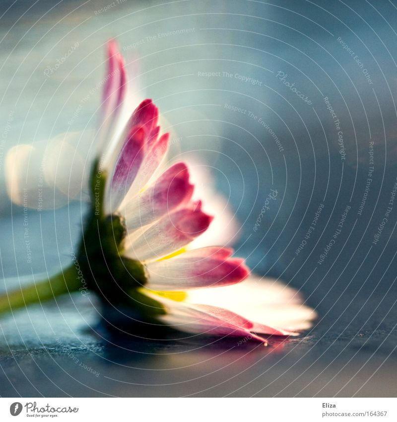 Rosa Tupfen schön weiß Sommer Pflanze Blume Erholung Frühling Blüte rosa nass Dekoration & Verzierung Gänseblümchen gemalt Blütenblatt Wildpflanze