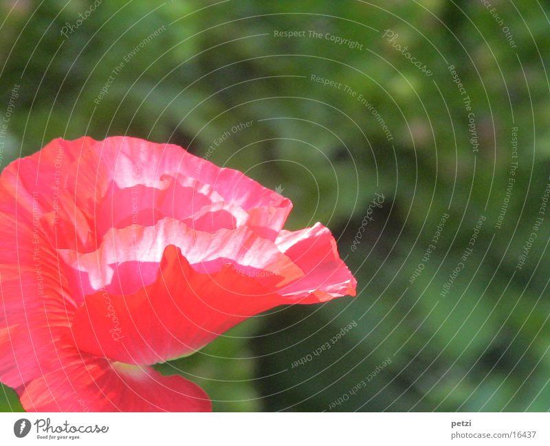 Mohnblüte Pflanze Frühling Blume Blüte Garten rot entfalten Lichteinfall sonnenbestrahlt Blüme. Blüte Blätter zerknittert Farbfoto Außenaufnahme Detailaufnahme