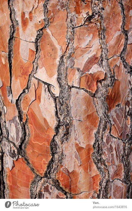 runzlig Natur Pflanze Sommer Baum Baumstamm Baumrinde braun rot Riss Holz Farbfoto mehrfarbig Außenaufnahme Detailaufnahme Makroaufnahme Menschenleer Tag