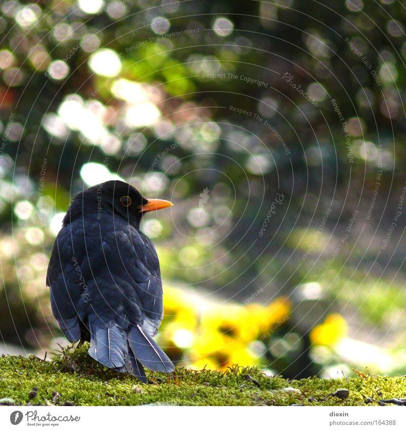 Schwarzdrossel (Turdus merula) N°2 Natur schön ruhig schwarz Tier Erholung Umwelt Garten Park Vogel fliegen natürlich Feder Wildtier Flügel Neugier