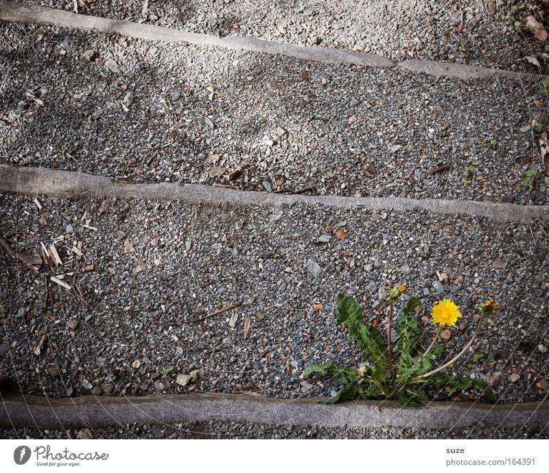 Einsamer Löwe sucht ... Farbfoto Außenaufnahme Menschenleer Textfreiraum links Textfreiraum oben Hintergrund neutral Tag Umwelt Natur Pflanze Blume Löwenzahn