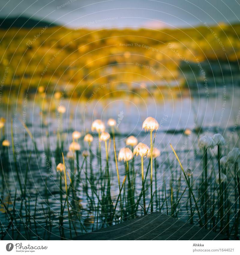 Wollgras Natur Moor Sumpf klein wild Mittelpunkt Farbfoto mehrfarbig Außenaufnahme Nahaufnahme abstrakt Menschenleer Dämmerung Licht Schatten Kontrast
