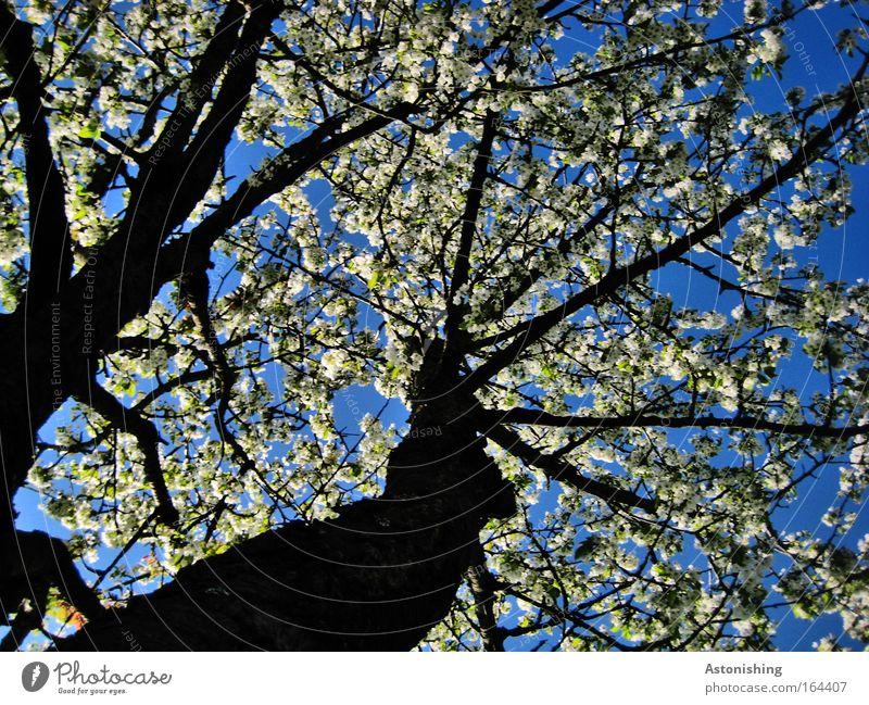 """""""ICH BLÜHE!"""" Umwelt Natur Pflanze Luft Himmel Sonnenlicht Sommer Schönes Wetter Wärme Baum Blüte Kirschbaum schön Klima Wachstum Farbfoto Außenaufnahme"""